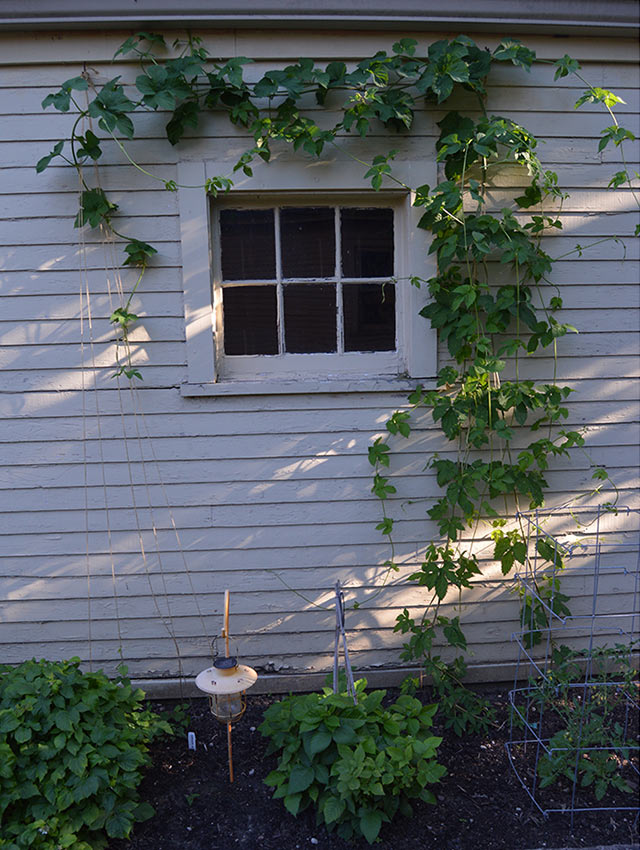 Hops Growing in Milwaukee, WI - Rookery Brewing Co.